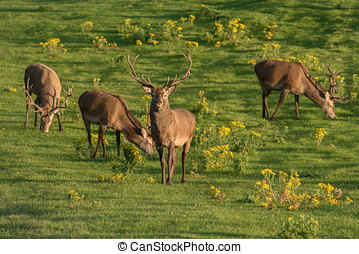 Red deer grazing in the sunset light