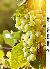 Grape of juicy delicious muscat Abstract agriculture...