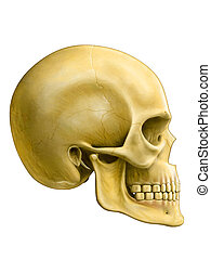 Human skull, side view Digital illustration, clipping path...