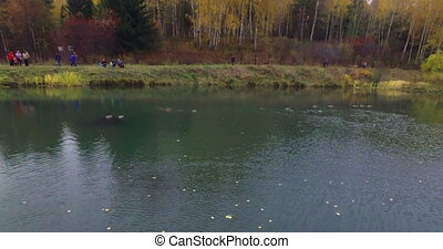 Flyin above wild ducks swimming on a lake - Wild ducks...