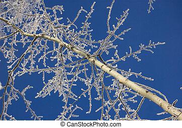 frozen poplar tree branch on blue sky