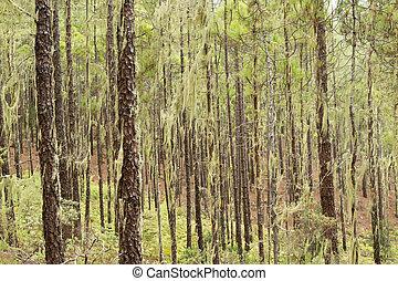 Gran Canaria, Nature Park Tamadaba, Canarian Pine tree...