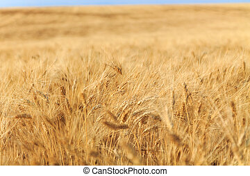 Yellow wheat field