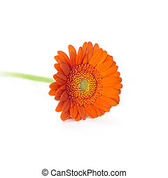 Orange Herbera - Single Orange Herbera isolated on white...