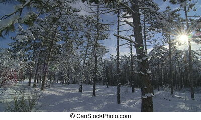 Morning in the winter forest covered with snow
