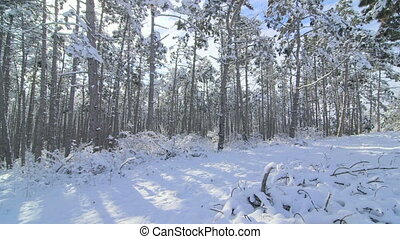 Winter forest landscape with pine trees covered with snow in...