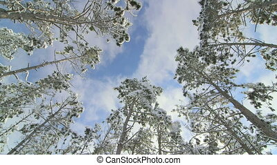 flying clouds in blue sky above pine trees covered with snow in the winter