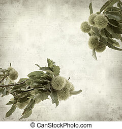 textured old paper background with sweet chestnut ripening...