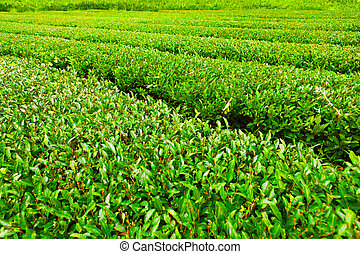 Green tea plantation at Jeju Island, Korea - Tea field at...