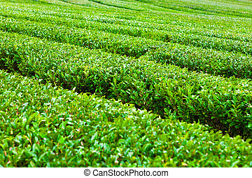 Green tea plantation at Jeju Island, South Korea - Green tea...
