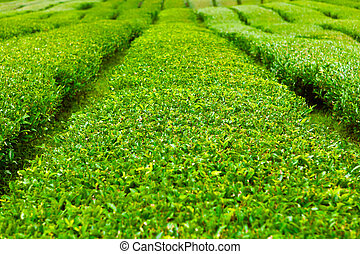 Tea plantation at Jeju Island, South Korea - Green tea field...