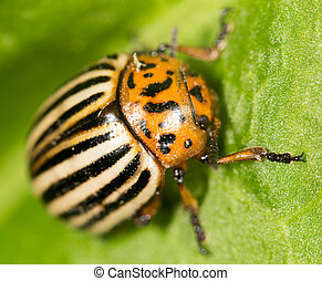 Colorado potato beetle on a green leaf. close