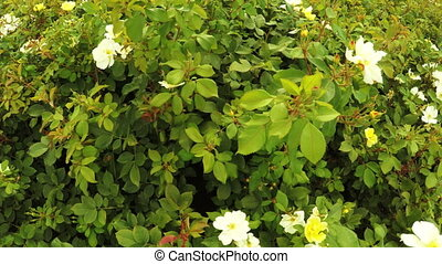Rosebushes in city park - In city park beautiful flower...