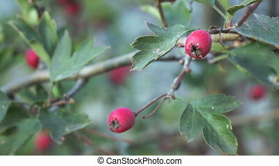 Dog-rose fruit - Ripe fruit of wild rose at sunset in autumn