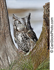 Screech Owl - Screech owl sitting in tree with natural...