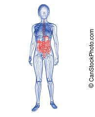 woman - highlighted digestive system