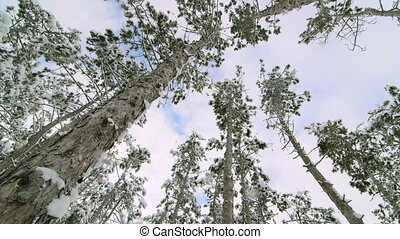 Tall pine trees covered with snow against flying clouds in the sky