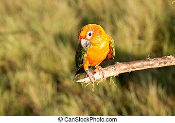 Bird,Sun conure parrot ,pet