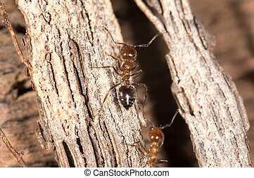 ants on wood. close-up
