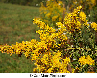 Goldenrod with Honey Bee - A busy honey bee is working at...