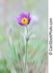 Pulsatilla - Abstract blurred flowers. Intentional motion...
