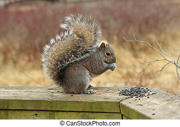 Gray Squirrel Eating Seeds On Boardwalk Rail