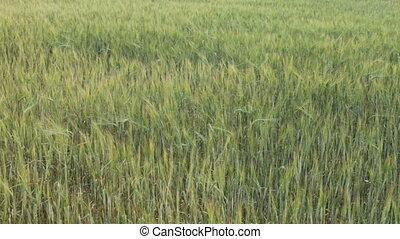 field of green ears