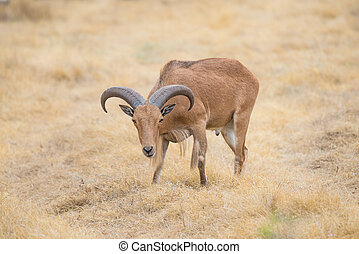 Barbary Sheep - Texas wild Aoudad or Barbary sheep ram