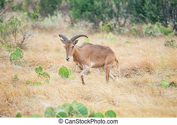 Aoudad Sheep Ewe - Texas wild Aoudad or Barbary sheep ewe