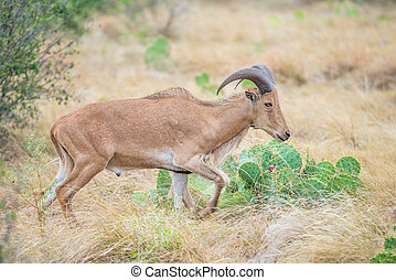Barbary Ewe - Texas wild Aoudad or Barbary sheep ewe