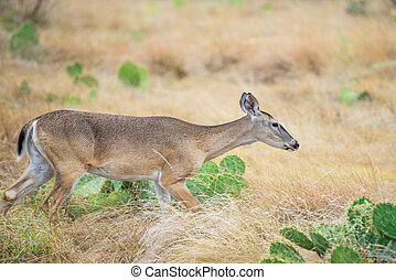 Wild Deer - Wild South Texas Whitetail deer doe walking