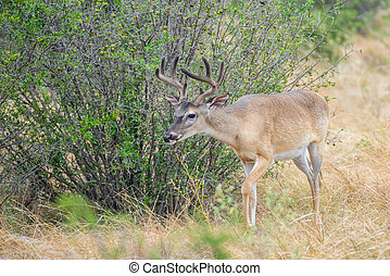 Wild Deer - Wild South Texas Whitetail deer buck in velvet