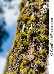 Tree trunk with moss and tree lichen, in Sequoia National...