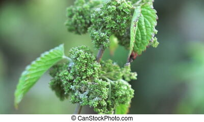 Seeds of nettles - Nettle is with bunch seeds in early...