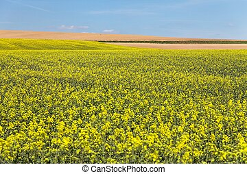 field of rapeseed with blue sky - plant for green energy and...