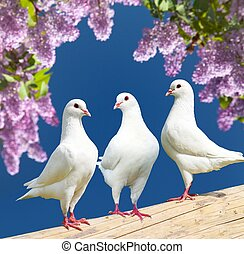three white pigeons on perch with flowering lilac tree -...