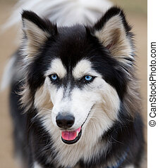 Siberian Husky face close up - Portrait of a Siberian Husky...