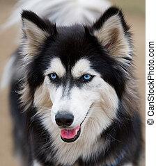 Siberian Husky face close up. - Portrait of a Siberian Husky...