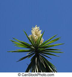 florecimiento, Yuca,