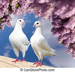 two white pigeons on perch with flowering lilac tree -...