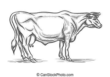 Engraving cow. Vector hand drawn illustration