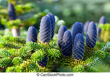 Caucasian fir tree cones close-up. Called also Abies...