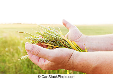 Fresh green cereal, grain in farmer's hands....