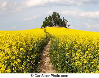 field of rapeseed brassica napus with path way and small...