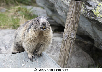 Marmot - a little marmot looking at the camera
