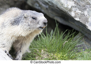Marmot - a little marmot looking out from under a rock