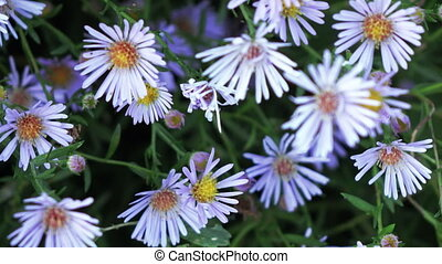 Aster dumosus Blue Berd - Growing in garden bush flowers...