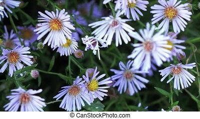 Aster dumosus Blue Berd - Growing in garden bush flowers...