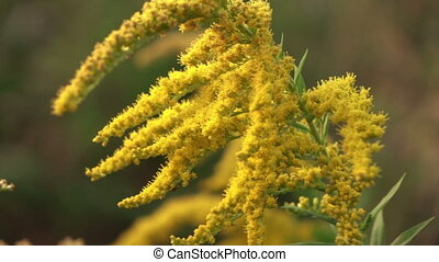 Goldenrod flower - Canadian goldenrod flowers melliferous in...
