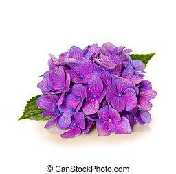 Violet hydrangea flower isolated - Violet hydrangea flower...